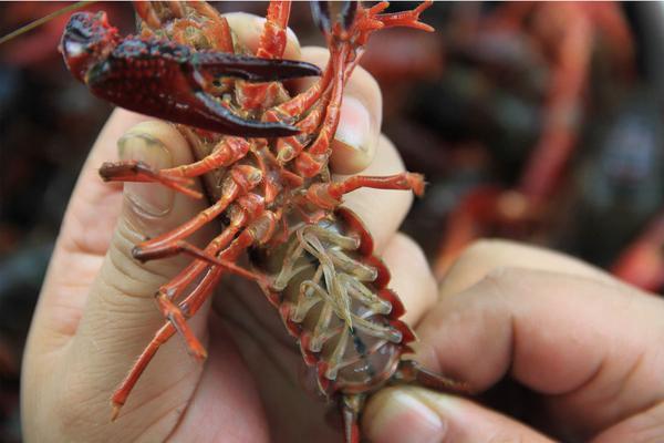 龙虾公母2.jpg